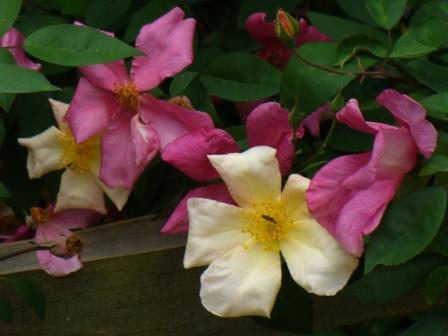 Mutabilis Rose, The Butterfly Rose