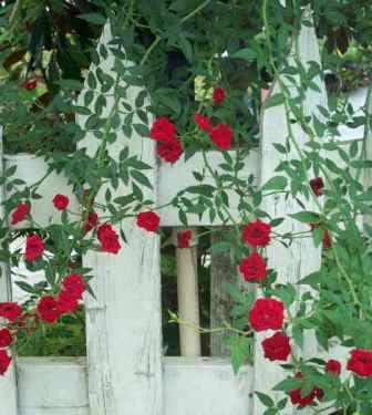 Red Cascade Climbing Rose