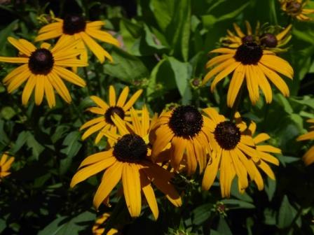 Early Bird Gold Black-Eyed Susan, Rudbeckia