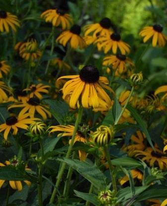 Glitters Like Gold Black-Eyed Susan, Rudbeckia