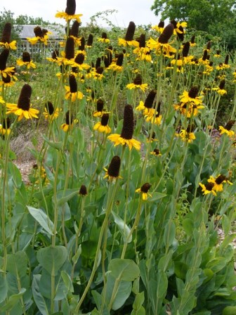 Great Coneflower, Cabbage-Leaf Coneflower