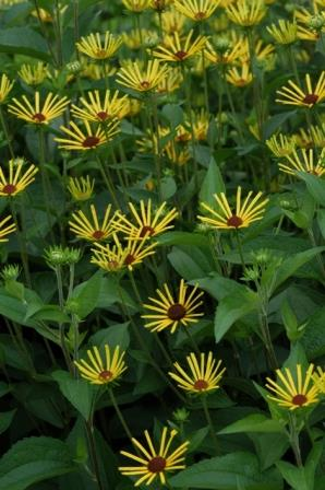 Henry Eilers Quilled Sweet Coneflower