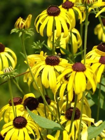 Sweet Coneflower
