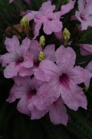 Katie Dwarf Pink Ruellia, Dwarf Mexican Petunia, Desert Petunia, Mexican Blue Bells, Florida Bluebells