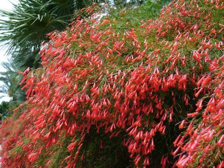 Red Firecracker Fern, Firecracker Plant, Coral Fountain Plant