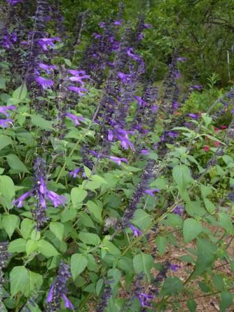 Amistad Salvia, Friendship Sage