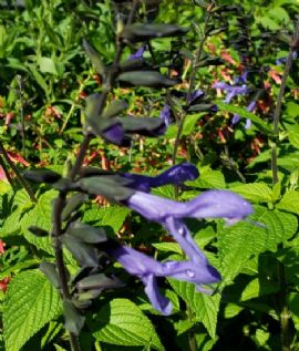 Bodacious Rhythm and Blues Salvia