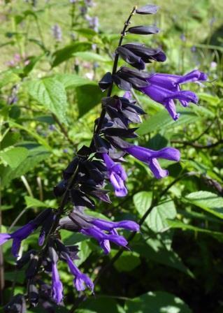 Electric Purple Salvia, Sage