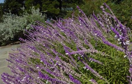 Bicolor Mexican Sage Bush