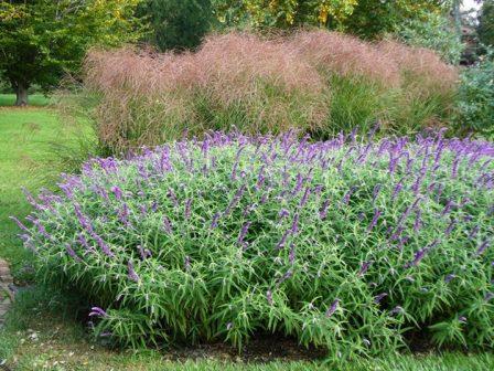 Midnight Mexican Bush Sage, All Purple Mexican Bush Sage