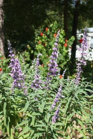 Santa Barbara Dwarf Purple Mexican Sage Bush