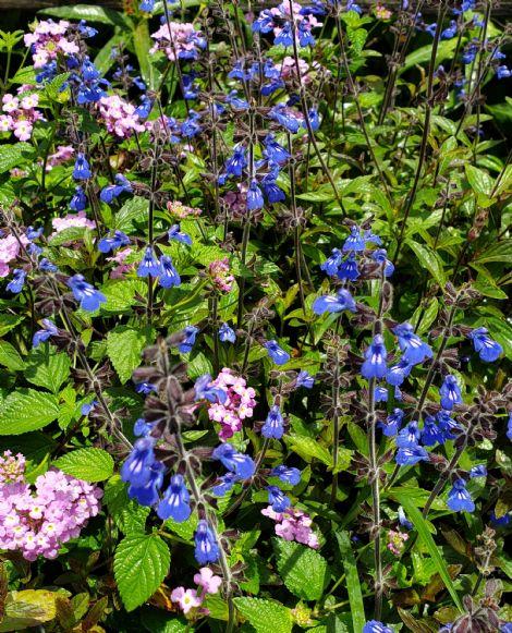 Sinaloan Blue Sage, Sapphire Salvia