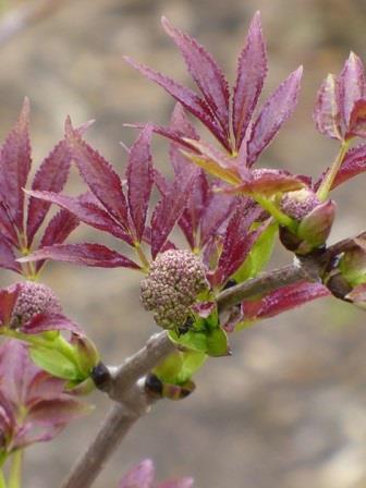 American Elderberry, Common Elderberry