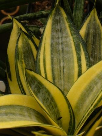 Golden Hahnii Dwarf Sansevieria