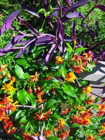 Mexican Love Vine (Orange), Mexican Flame Vine