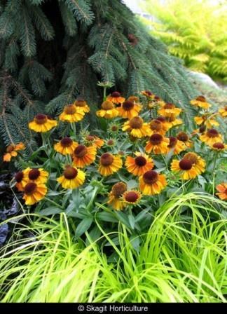 Short 'N' Sassy Helenium, Helen's Flower, Dogtooth Daisy, Sneezeweed