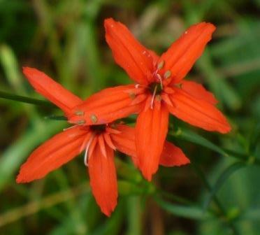 Louisiana Catchfly, Scarlet Catchfly