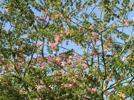 Silk Floss Tree, Kapok Tree, Corisia
