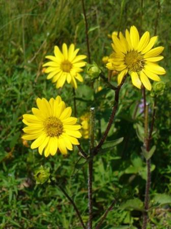 Starry Rosinweed, Southern Rosinweed