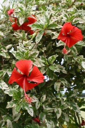 Snow Queen Variegated Hibiscus Tropical Plants Almost Eden