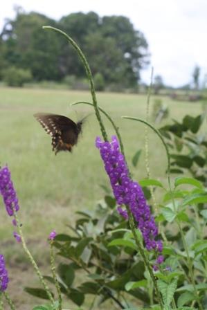 Lavender Porterweed