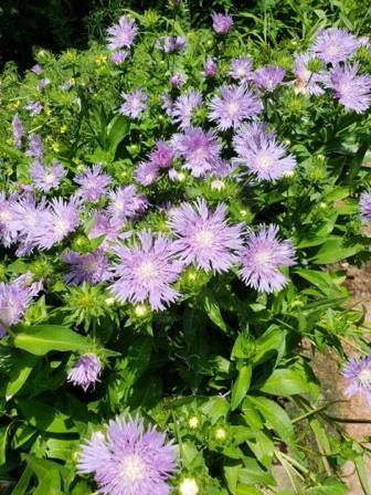 Blue Frills Stokesia Daisy, Stoke's Aster