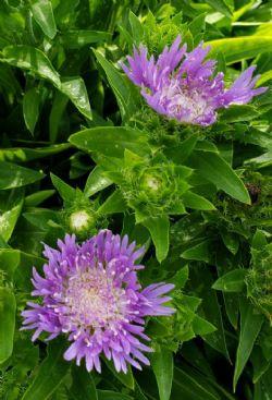 Mini Mels Stokesia Daisy, Stoke's Aster (Semi-Dwarf, Purple)