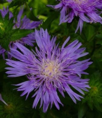 Peachie's Pick Stokesia Daisy, Stoke's Aster