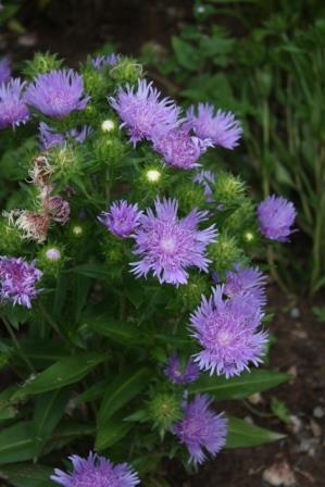 Blue Danube Stokesia Daisy, Stoke's Aster