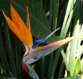 Bird of Paradise, Crane Flower