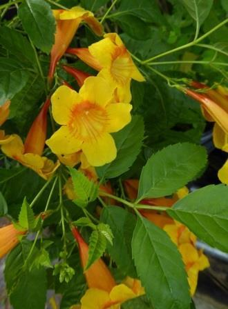 Orange Mahogany Esperanza, Yellow Bells, Yellow Elder, Trumpet Bush, Esperanza, Tecoma Stans, Texas Yellow Bells