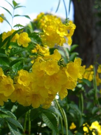 Gold Star Esperanza, Yellow Bells, Yellow Elder, Trumpet Bush, Esperanza, Tecoma Stans, Texas Yellow Bells