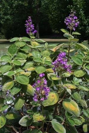 Big-Leaf Princess Flower, Tibouchina, Glory Flower
