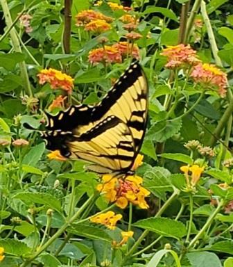 Miss Huff Hardy Lantana (bush, yellow, pink and orange)