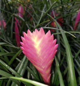 Pink Quill Plant, Tillandsia