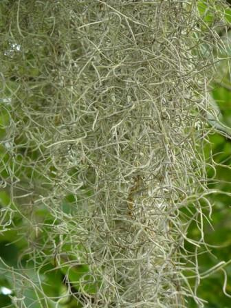 Spanish Moss (live plants)