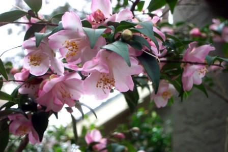 Tiny Princess Camellia