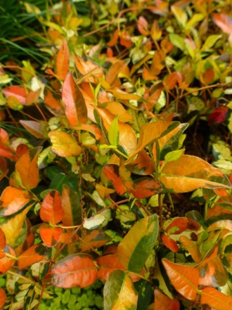 Ogon Nishiki Asiatic Jasmine, Salsa Asiatic Jasmine, Japanese Star Jasmine