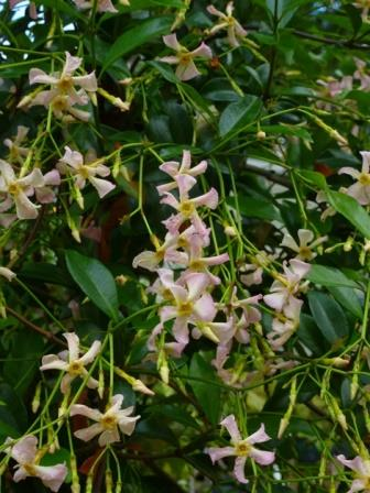 Sassy Pink Confederate Jasmine