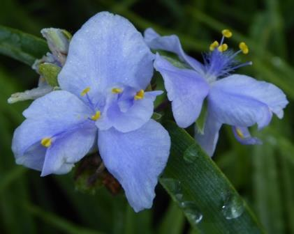 Mac's Double Purple Spiderwort, Tradescantia, Lady's Tears