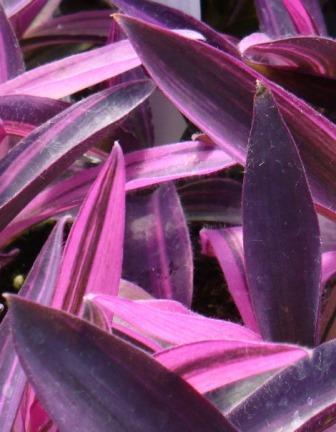 Tricolor Purple Heart Jew