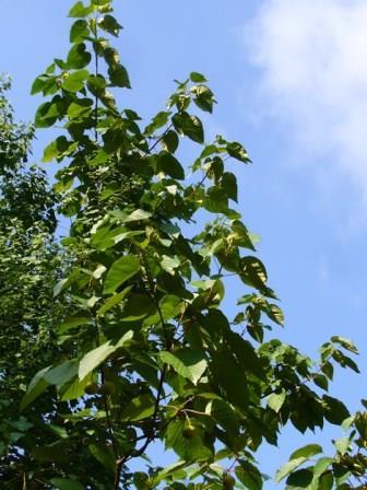 Tungoil Tree, Tung Tree, China Wood Oil Tree