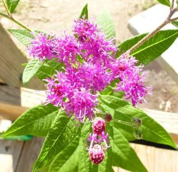 Missouri Ironweed