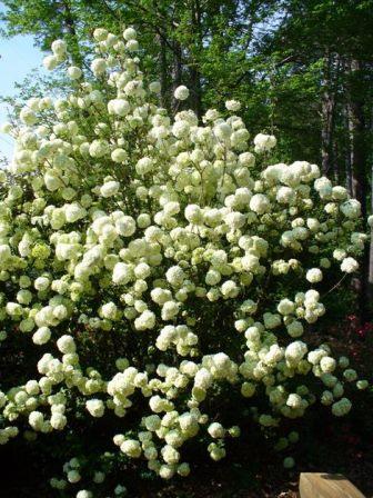 Chinese Snowball Bush