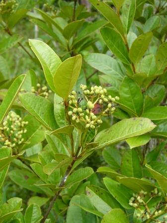 Smooth Withe-Rod Viburnum, Blue Haw, Wild Raisin, Possum Haw, Appalachain Tea