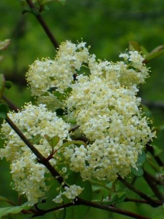 Rusty Blackhaw Viburnum, Southern Blackhaw, Blue Haw, Rusty Nanny-Berry