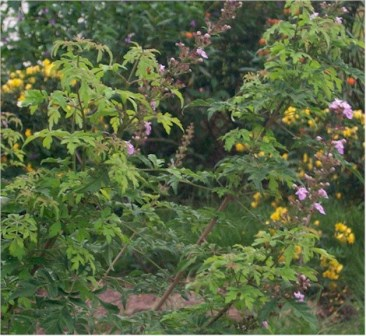 Lace-Leaf Vitex, Cut-Leaf Vitex