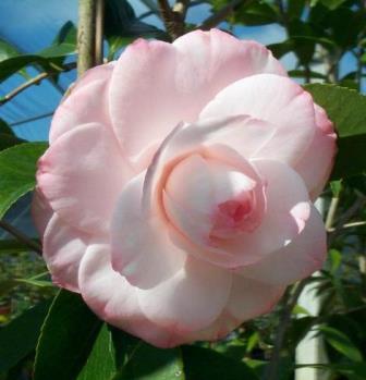 Willard Scott Camellia