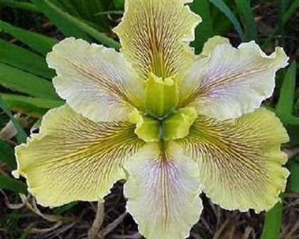 Wow Factor Louisiana Iris (Yellow, Purplish-Red Veining, Midseason)