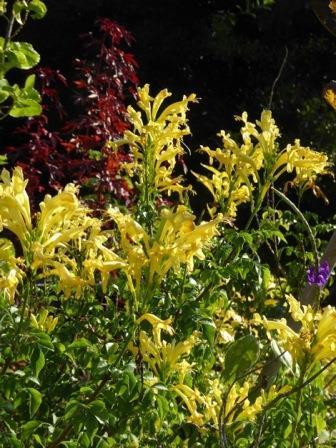 Yellow Cape Honeysuckle